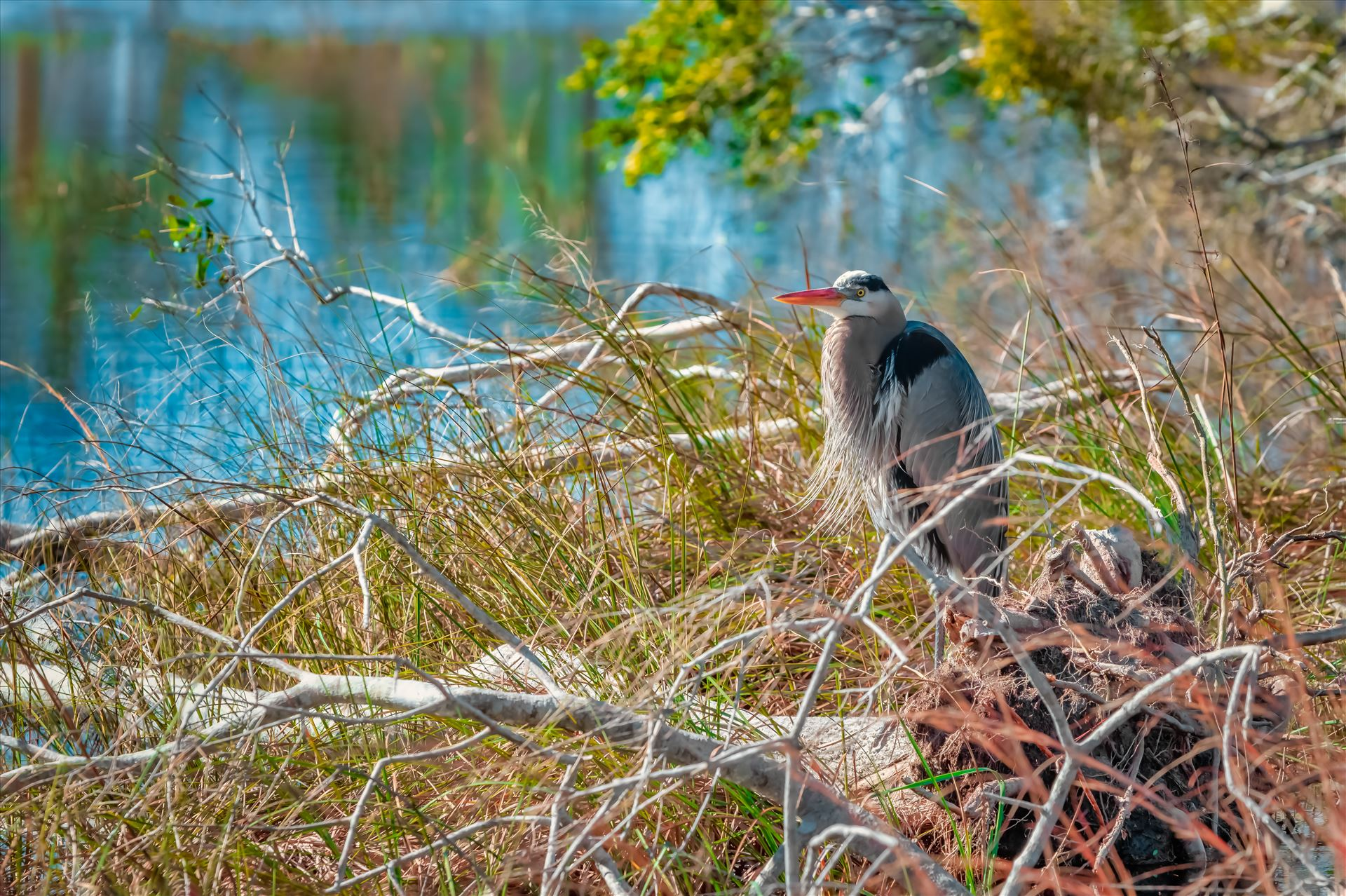 Great Blue Heron Great Blue Heron at Buttonbush Marsh, St. Andrews State Park. Panama City, Florida by Terry Kelly Photography