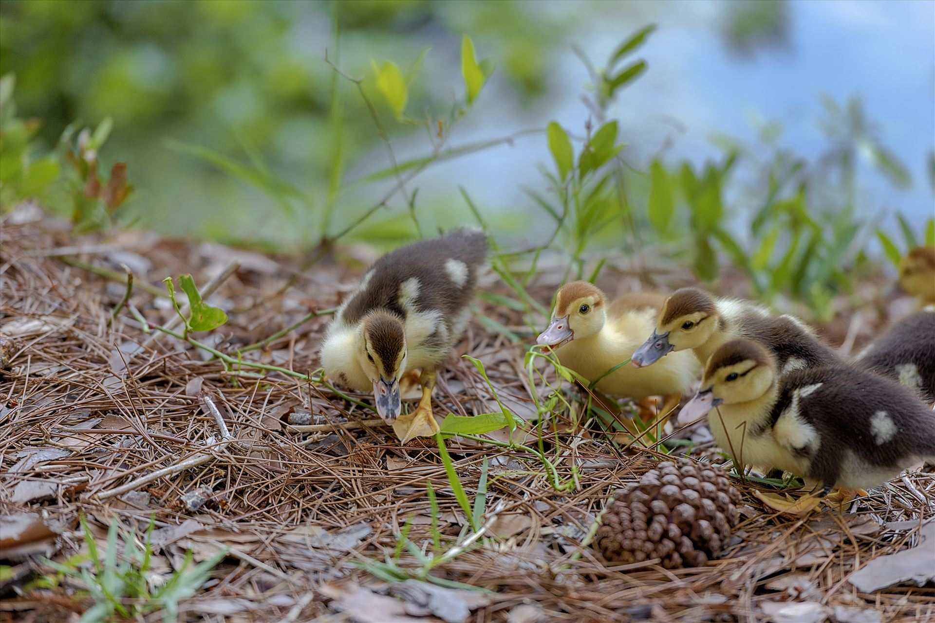 muscovy ducklings with bokeh forground and back ground lake caroline panama city florida ss sf 8108855.jpg muscovy ducklings at lake caroline in panama city florida by Terry Kelly Photography