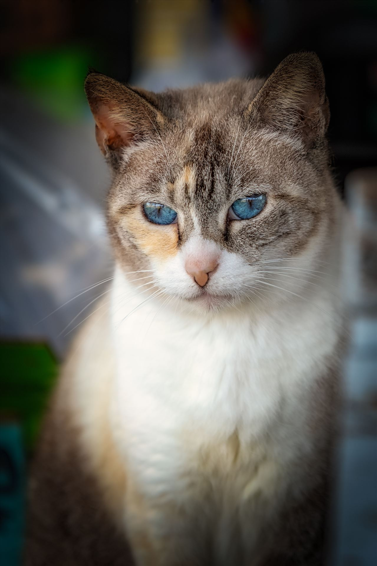 house cat portrait close up of house cat with blue eyes by Terry Kelly Photography