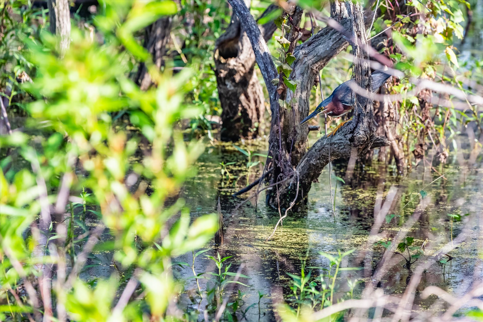 Green Heron green Heron stalking food in gator lake at St. Andrews State Park by Terry Kelly Photography