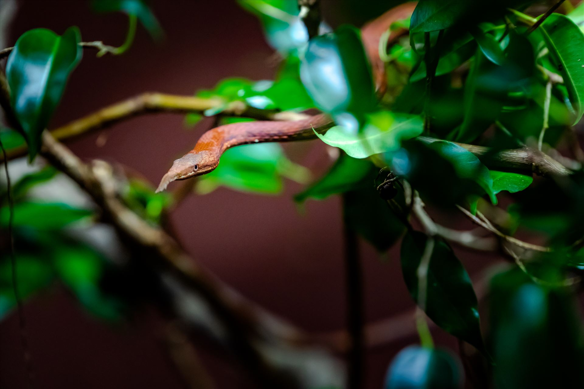 madagascar leaf nosed snake ss as sf.jpg madagascar leaf nosed snake crawling out of small bush. by Terry Kelly Photography