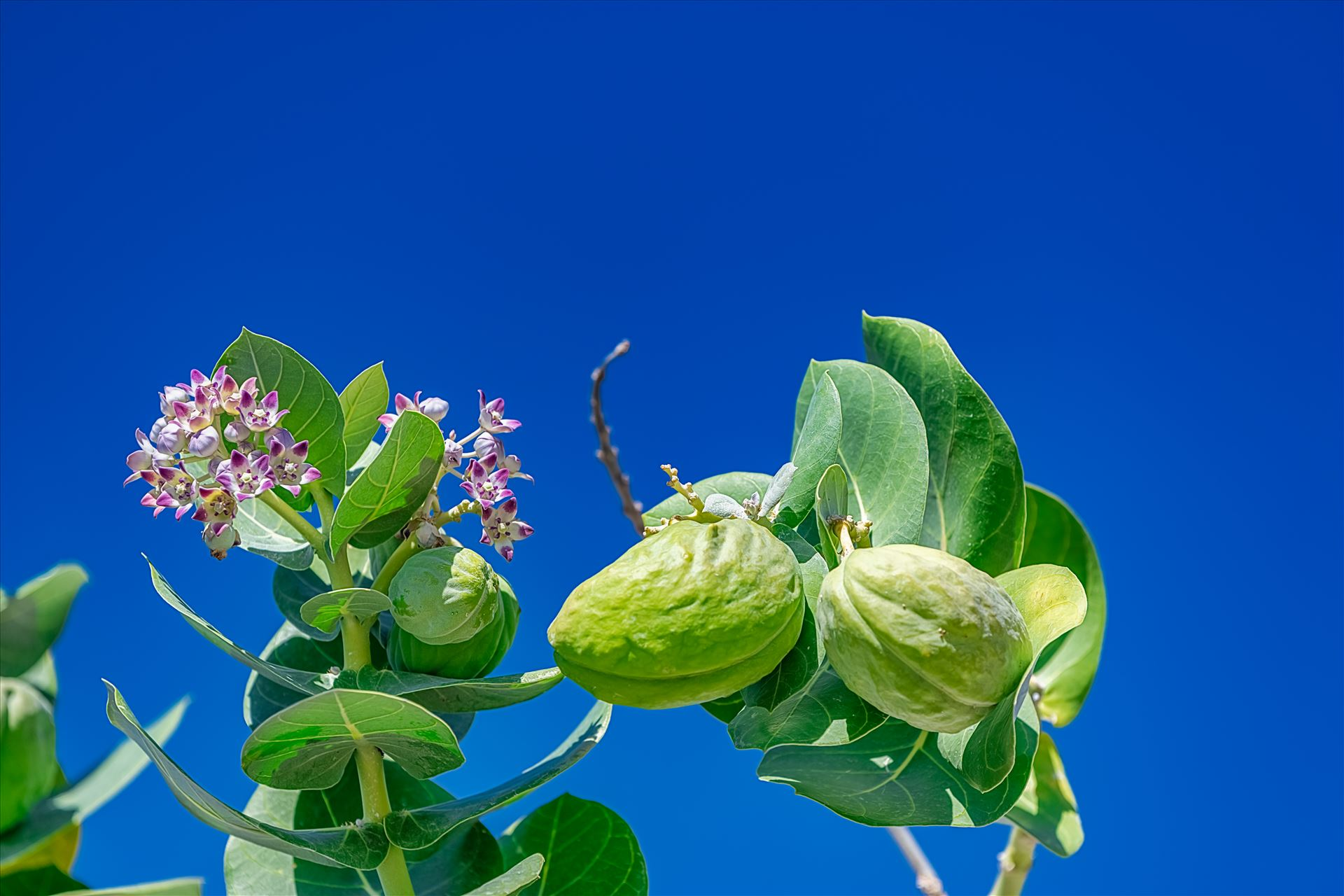 guava guava tree blue background by Terry Kelly Photography