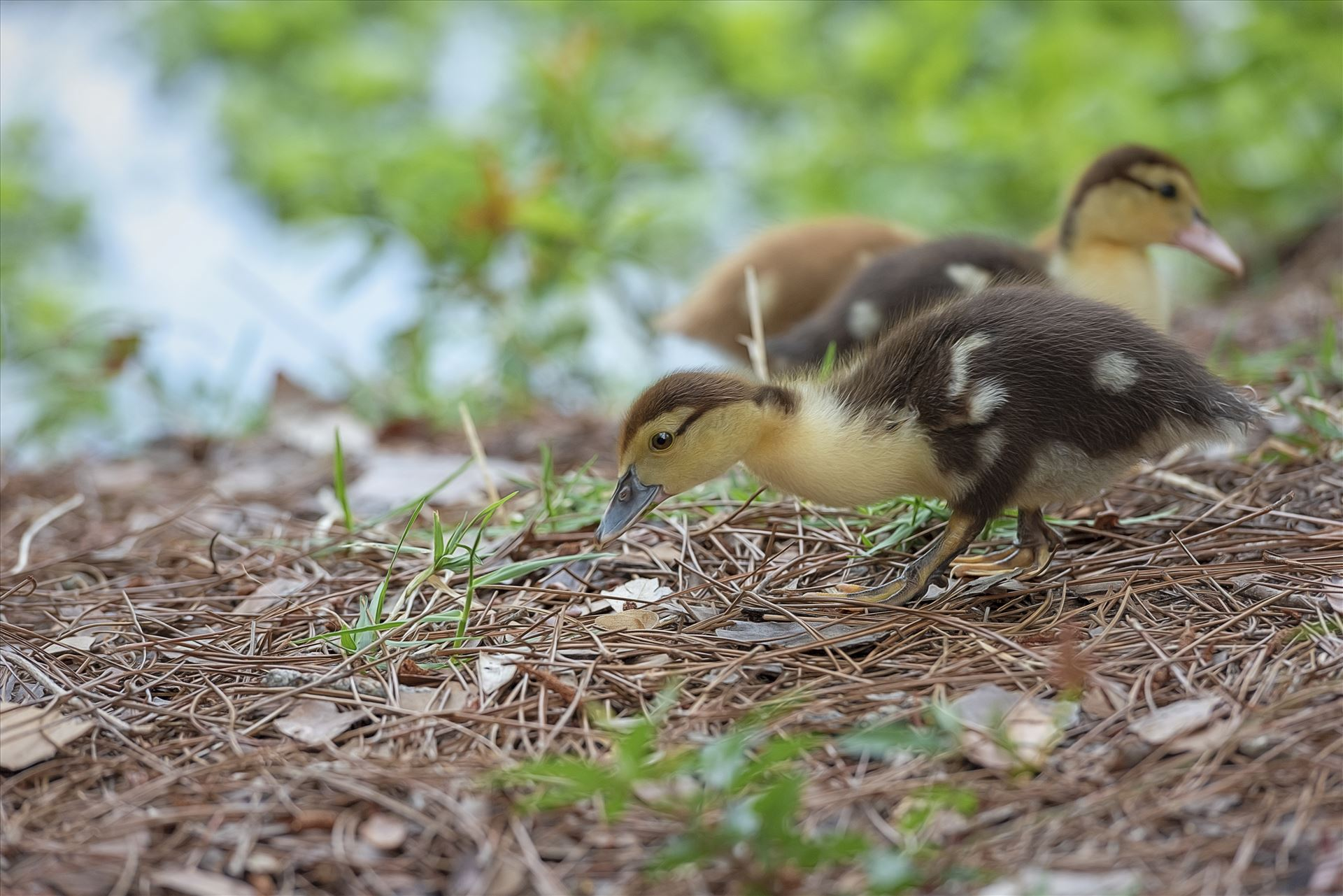 muscovy duckling with bokeh foreground and background lake caroline panama city florida ss sf 8108865.jpg close us of muscovy duckling by Terry Kelly Photography