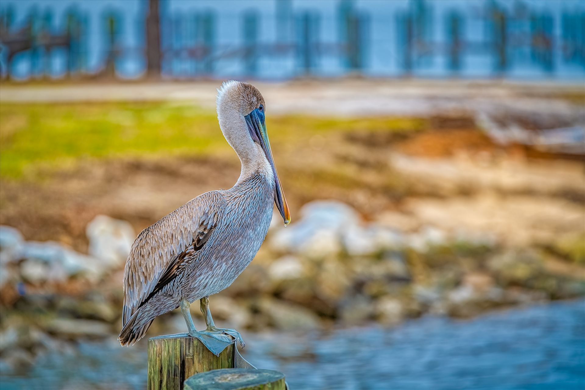 brown pelican brown pelican standing on post by Terry Kelly Photography