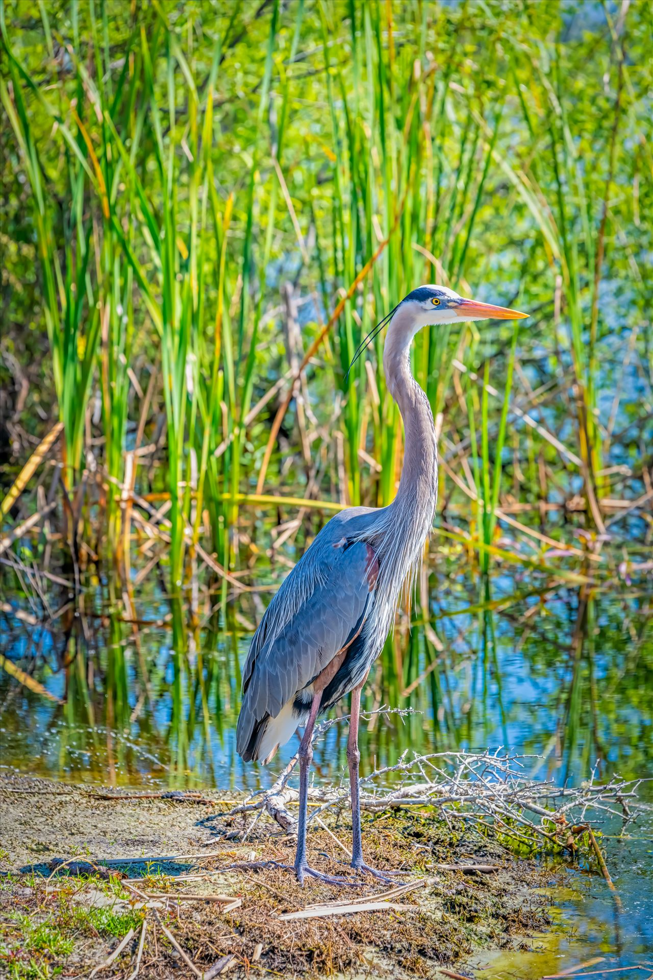 great blue heron great blue heron stand on bank of gator lake at St. Andrews State park, Panama City, Florida by Terry Kelly Photography