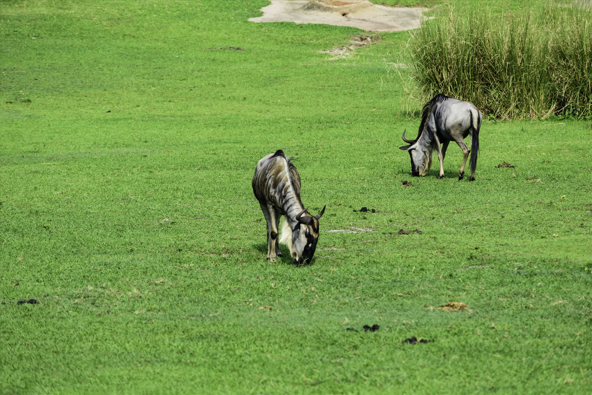 _RAW0026.jpg Wildebeest grazing in green field by Terry Kelly Photography