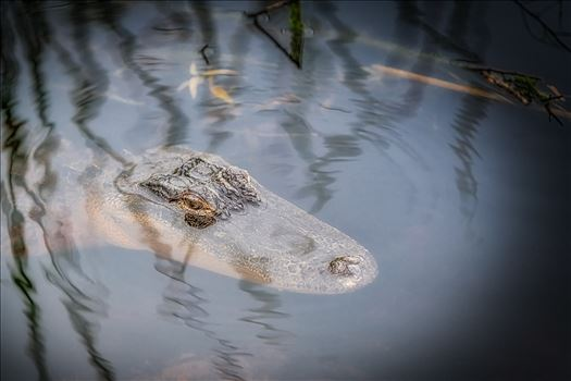 Florida Alligator by Terry Kelly Photography