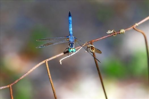 blue green dragonfly on rusted wire fence ss as sf 8500186.jpg by Terry Kelly Photography