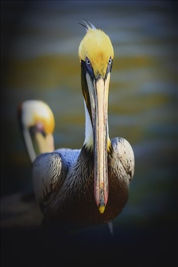brown pelican portrait st. andrews state park 8108288.jpg by Terry Kelly Photography