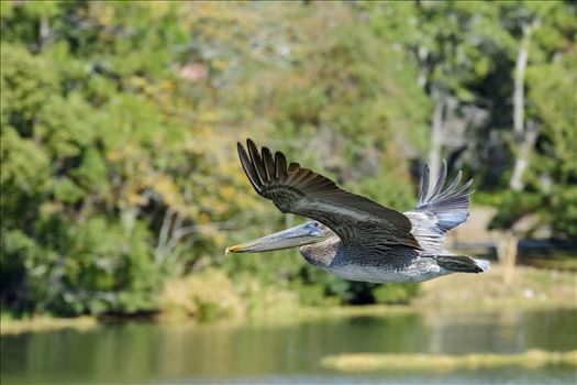 brown pelican in flight over lake caroline ss 8106768.jpg by Terry Kelly Photography