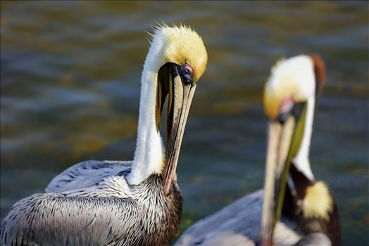 brown pelican st. andrews state park 8108281.jpg -