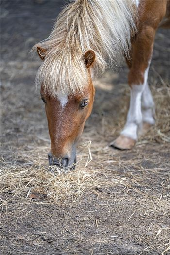 shetland pony eating hay ss as 8500174.jpg by Terry Kelly Photography