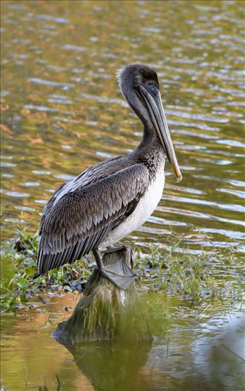brown pelican standing on stump ss RAW6204.jpg by Terry Kelly Photography