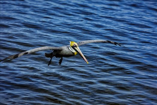 brown pelican landing approach st. andrews state park 8108256.jpg by Terry Kelly Photography