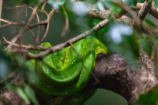 green tree python 8501457 ss as sf.jpg by Terry Kelly Photography
