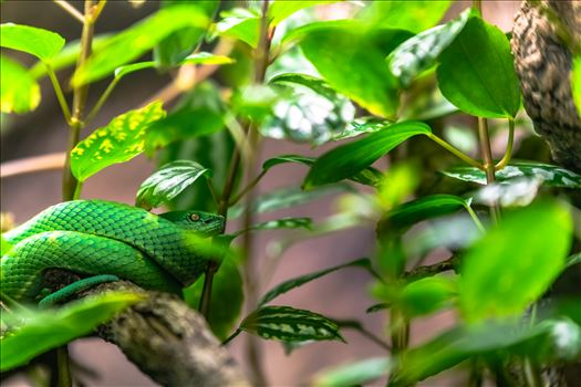 side striped pit viper.jpg by Terry Kelly Photography