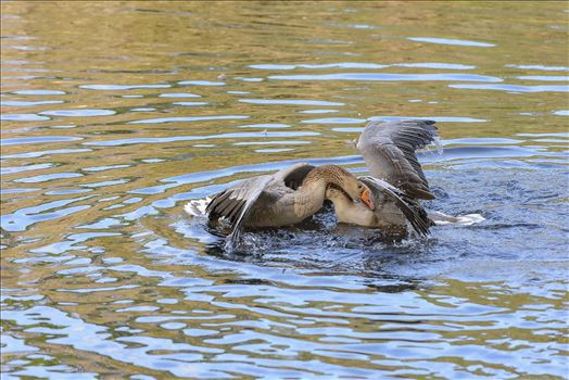 Geese mma at lake caroline 8108150.jpg by Terry Kelly Photography
