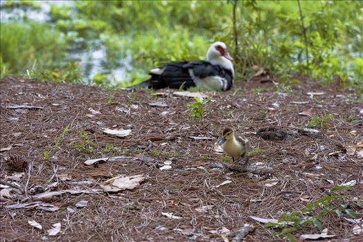 muscovy duckling Bokeh moma in the background sssf 8108848.jpg by Terry Kelly Photography