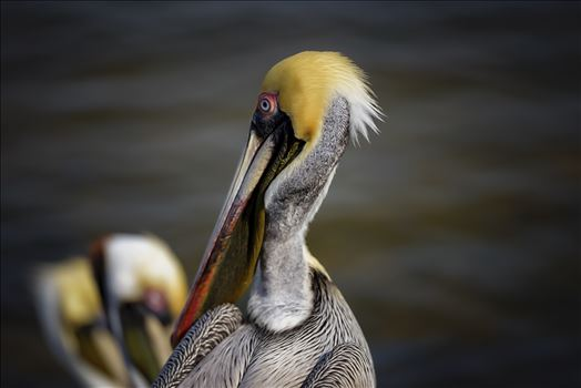 brown pelican portrait st. andrews state park 8108277.jpg by Terry Kelly Photography