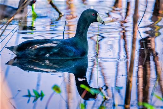 American Coot by Terry Kelly Photography