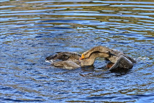 Geese mma at lake caroline 8108177.jpg by Terry Kelly Photography