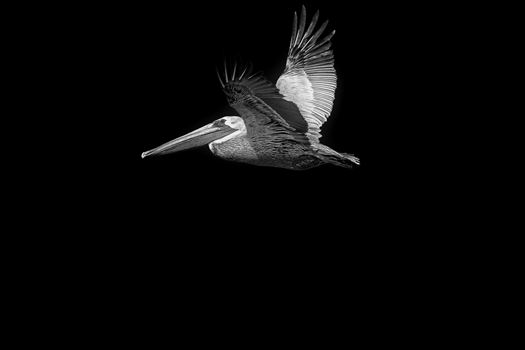 brown pelican by Terry Kelly Photography