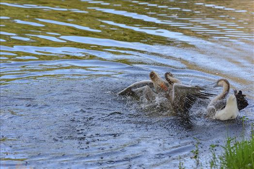 Geese mma at lake caroline 8108146.jpg by Terry Kelly Photography