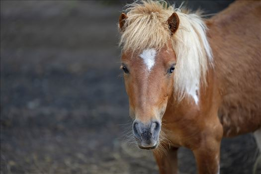 shetland pony ss as 8500173.jpg by Terry Kelly Photography