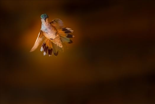 hummingbird in flight sf.jpg by Terry Kelly Photography
