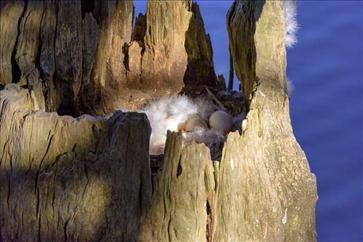 duck eggs in hollowed out tree stump on lake caroline alamy only 8106702.jpg by Terry Kelly Photography