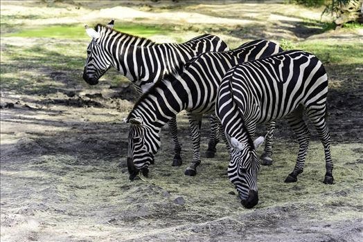 zebras.jpg by Terry Kelly Photography
