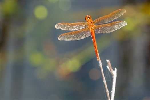 reddish or rust color dragonfly at st andrews state park sf-8502092.jpg by Terry Kelly Photography