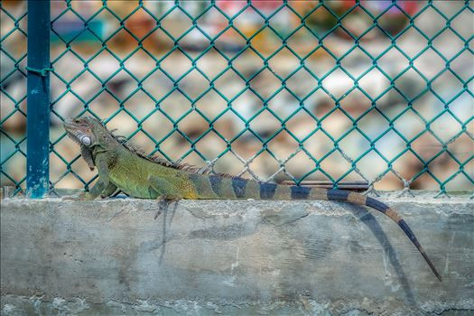 Iguana by Terry Kelly Photography