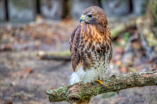 red tailed hawk by Terry Kelly Photography