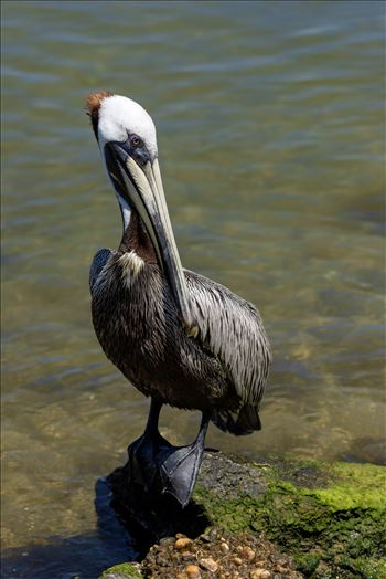 brown pelican standing on rock at st. andrews state park panama city beach florida sf ss al 8108785.jpg by Terry Kelly Photography
