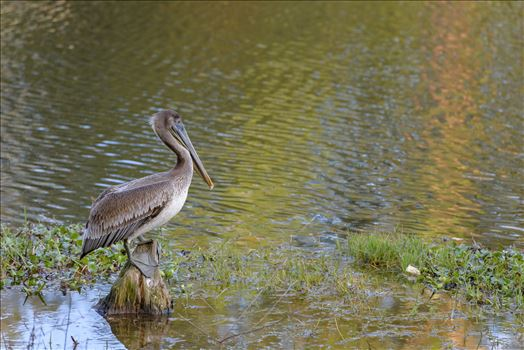 brown pelican standing on stump ss RAW6218.jpg by Terry Kelly Photography