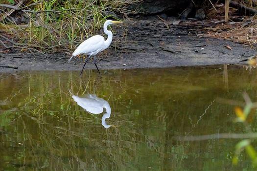 great white egret walking shoreline of lake caroline florida ss alamy 8106742.jpg by Terry Kelly Photography