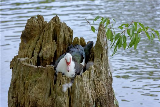 duck sitting on eggs in hollowed out tree stump lake caroline ss alamy 8106733.jpg by Terry Kelly Photography