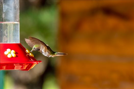 hummingbird drinking sugar water from feeder 8500843 ss as sf.jpg by Terry Kelly Photography