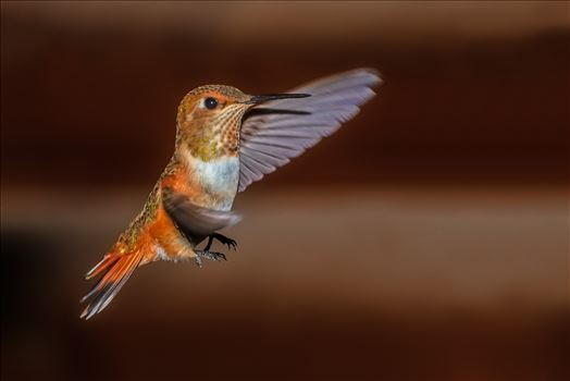 hummingbird in flight 8500640 ss as sf.jpg by Terry Kelly Photography