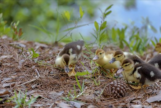 muscovy ducklings with bokeh forground and back ground lake caroline panama city florida ss sf 8108855.jpg by Terry Kelly Photography