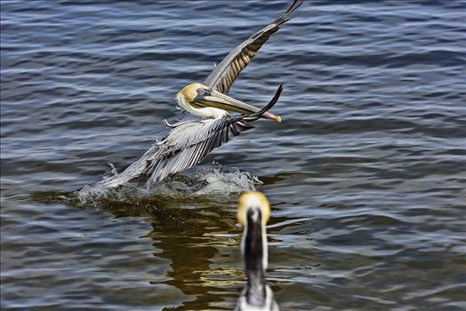brown pelican landing st. andrews state park 8108259.jpg by Terry Kelly Photography