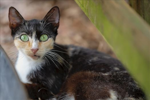 close up portrait of a Calico cat sf 8500367.jpg by Terry Kelly Photography