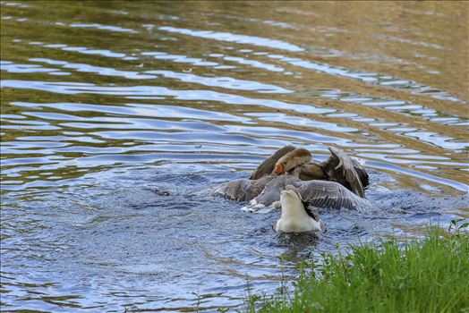 Geese mma at lake caroline 8108149.jpg by Terry Kelly Photography