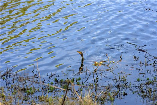 anhinga lake caroline alamy only 8106697.jpg by Terry Kelly Photography