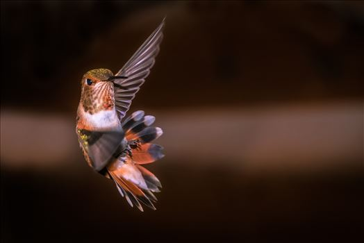 hummingbird in making turn in flight 8500639 ss as sf.jpg by Terry Kelly Photography
