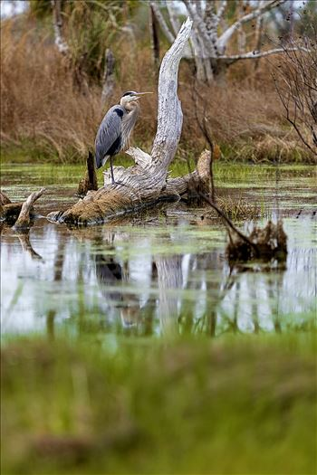 great blue heron standing on log in the button marsh area of st. andrews state park, panama city, florida 8108364.jpg by Terry Kelly Photography