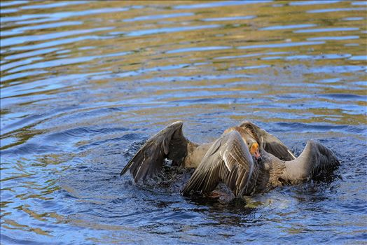 Geese mma at lake caroline 8108165.jpg by Terry Kelly Photography