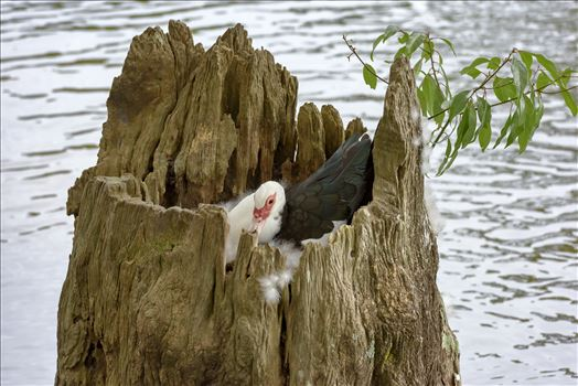 duck sitting on eggs in hollowed out tree stump lake caroline ss alamy 8106732.jpg by Terry Kelly Photography