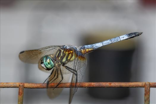 green and blue dragonfly on old rusted wire fence macro ss as sf 8500260.jpg by Terry Kelly Photography